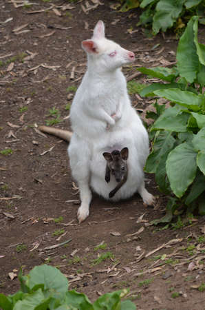 white wallaby and a brown joey in her pouch photo
