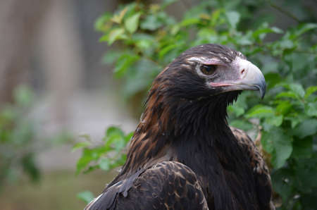 this is a close of a wedge tailed eagle photo