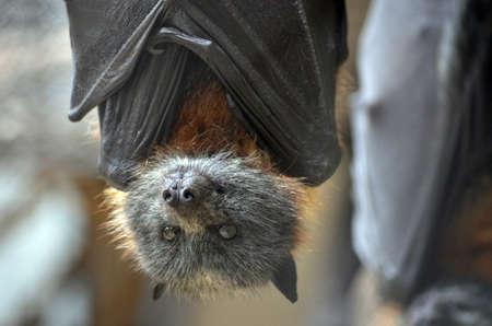이 박쥐의 가까이입니다