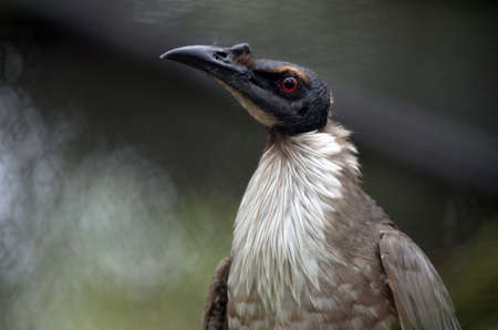 friar: this is a close up of a friar bird Stock Photo