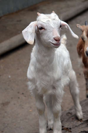 billy: this is a white baby goat with a cute smile Stock Photo