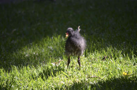 moorhen: this is a baby moorhen on the grass Stock Photo