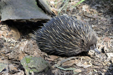 echidna: this echidna is in search for food Stock Photo