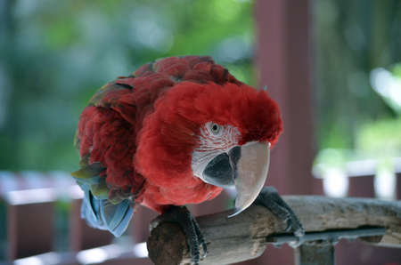 green winged macaw: this is a close up of a green winged macaw landscape