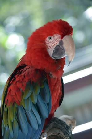 green winged macaw: a green winged macaw