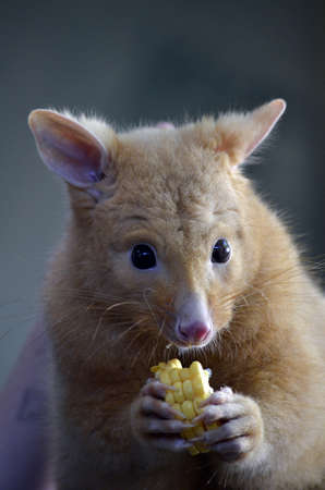 possum: this is a golden possum on a log eating corn Stock Photo
