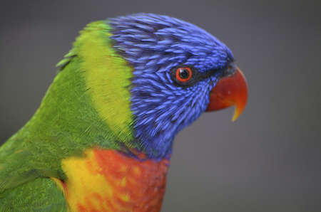 this is a close up of a rainbow lorikeet photo