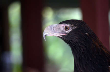 this is a close up of a wedge tailed eagle photo