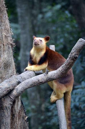 the tree kangaroo is climbing a 20 metre tree