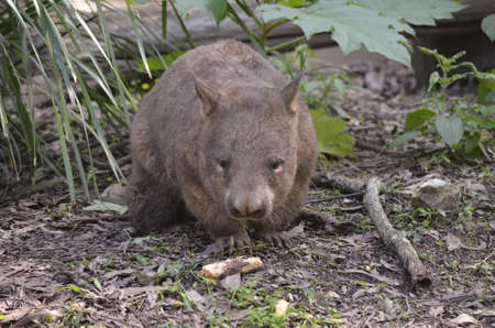wombat: el wombat est� caminando a trav�s de zarza