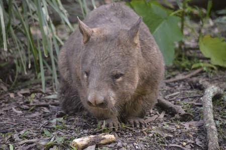 wombat: el wombat está caminando a través de zarza