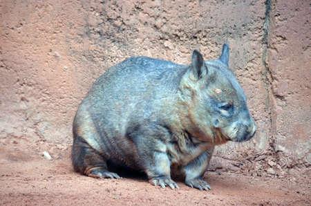 wombat: el wombat está caminando a través de tierra roja Foto de archivo