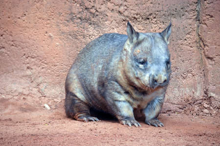 animal pouch: the wombat is walking thru red dirt Stock Photo