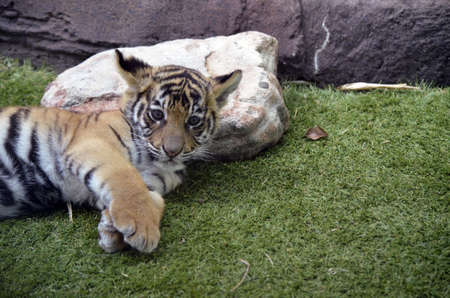 the tiger cub is just waking up photo