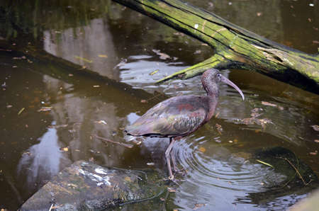 this glossy ibis is wading in a pond photo