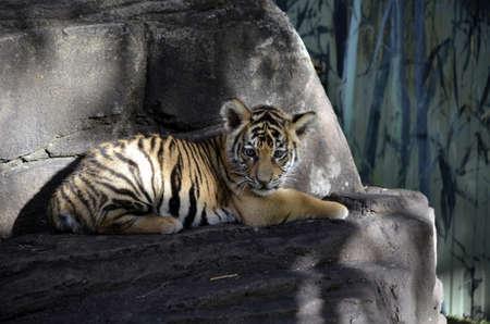 le petit tigre se repose sur un rocher Banque d'images