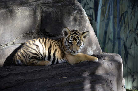 the tiger cub is resting on a rock photo