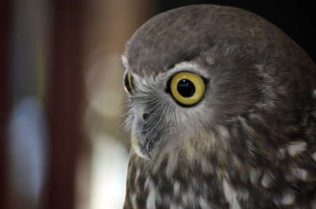 this is a close up of a barking owl Stock Photo - 13829000
