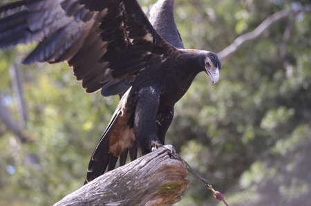 this wedge tailed eagle is about to fly away photo