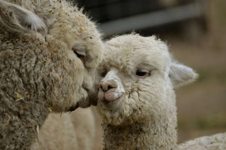 this is a close up of a mother and daughter alpaca Stock Photo - 15372637