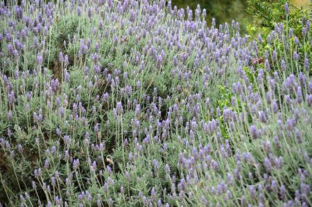 lavendar: this is a field of lavendar grown in South Australia