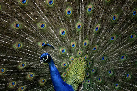 peahen: this is a close up of a peacock