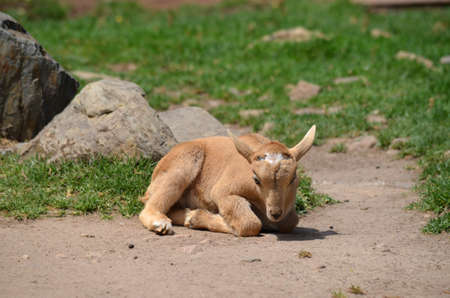 barbary: this is a baby barbary sheep