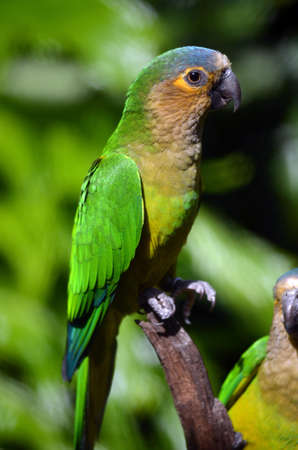 brown throated: the brown throated conure is a green parrot