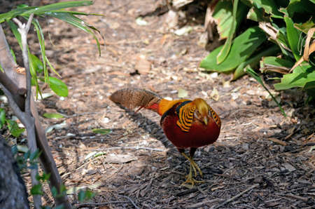 this is a golden pheasant walking over twigs Stock Photo - 16560685