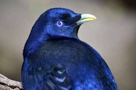 bower: this is a close up of a male bower bird