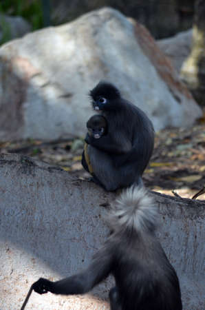 this is a dusky leaf monkey being held by her mother photo