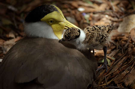 lapwing: this a portrait of a masked lapwing and her chick Stock Photo