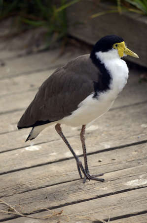 the masked lapwing is walking on a path photo