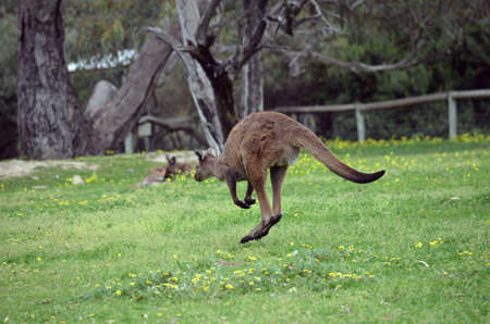 the kangaroo is hopping across the paddock