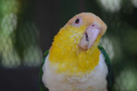 bellied: this is a close up of a white bellied caique