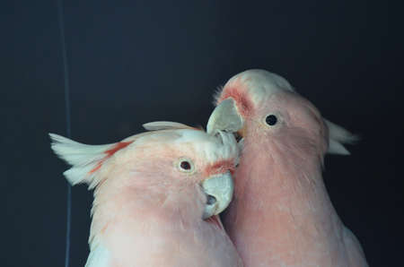 cockatoos: the two major mitchell cockatoos are grooming each other