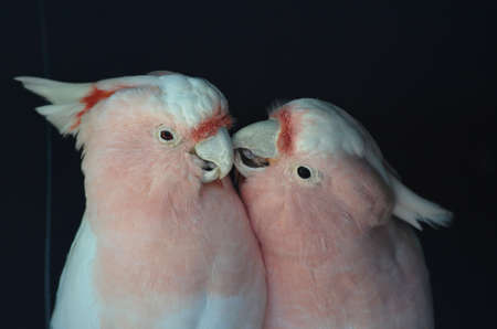 cockatoos: this is a picture of two pink cockatoos kissing