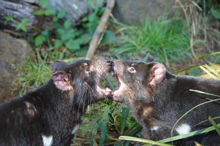 tasmanian: the two tasmanian devils are fighting Stock Photo