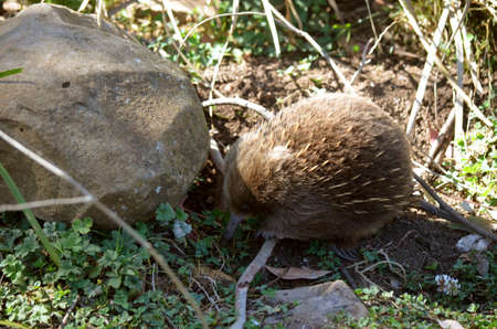 echidna: The echidna is looking for ants to eat