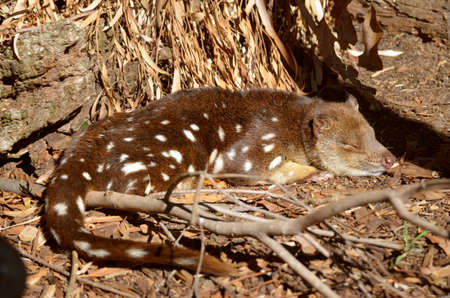this quoll is resting in twigs and bark Stock Photo