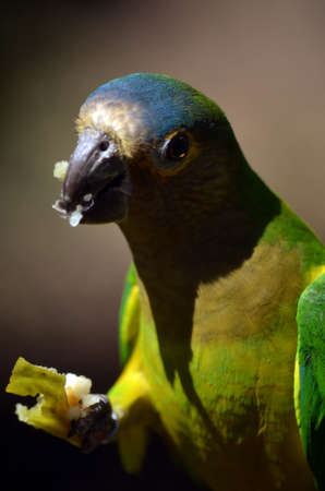 brown throated: this is a close up of a brown throated conure Stock Photo