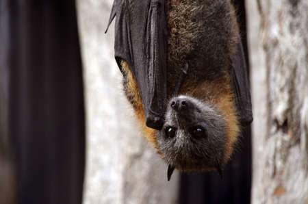 rabies: this is a bat hanging upside down