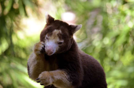 this is s a close up of a tree kangaroo eating