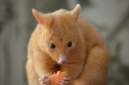 possum: this is a close up of a golden possum eating fruit Stock Photo