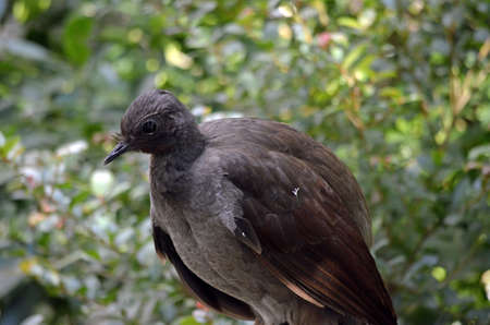 scavenger: this is a close up of a lyre bird