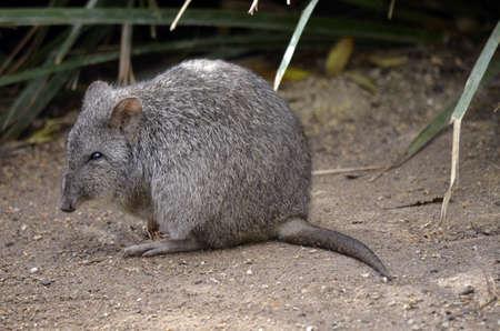 This rat kangaroo is a furry ball Stock Photo - 20386693
