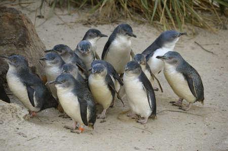 the fairy penguin colony is on the beach Stock Photo - 20446110