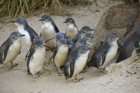 this group or colony of fairy penguins is waiting for food photo