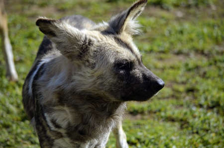 painted dog: this is a close up of an african painted dog   Stock Photo