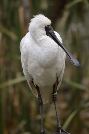 this royal spoonbill is looking for food Stock Photo - 20957427